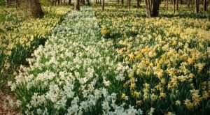 Make Sure Not To Miss Seeing Thousands Of Daffodils In Bloom At The Magical Parsons Reserve In Massachusetts