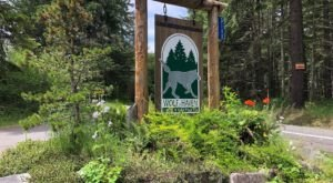 Spend The Day With Wolves At Wolf Haven International In Tenino, Washington