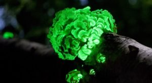 Deep In The Forests Of Wisconsin, There's A Magical Fungus That Glows In The Dark
