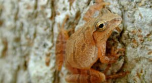 Thousands Of Singing Spring Peepers Are A Welcome Sound Of Normalcy Here In Wisconsin