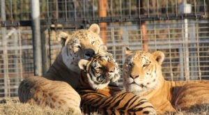 Dozens Of Tigers Rescued From The Zoo In Netflix's Tiger King Have Been Re-Homed In Colorado