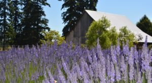Lavender And Loofahs Grow In Abundance At Moonbeam Farm In Northern California
