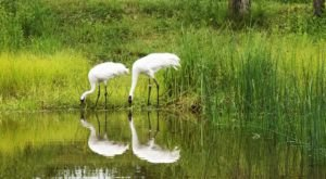 Wisconsin's International Crane Foundation Is The Only Place In The World Where You Can See All 15 Species Of Crane
