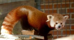 Watch Red Pandas And Spider Monkeys In Real-Time With This Livestream From Connecticut's Beardsley Zoo