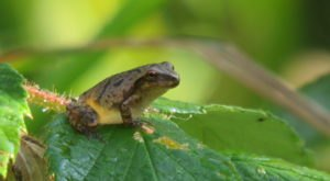 Thousands Of Singing Spring Peepers Are A Welcome Sound Of Normalcy Here In Maryland