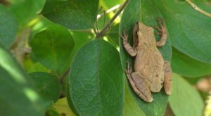 Thousands Of Singing Spring Peepers Are A Welcome Sound Of Normalcy Here In New Jersey