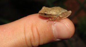 Thousands Of Singing Spring Peepers Are A Welcome Sound Of Normalcy Here In North Carolina