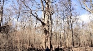 Arkansas' Champion Cypress Tree Is One Of The Oldest Living Things In America