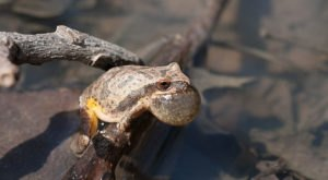 Thousands Of Singing Spring Peepers Are A Welcome Sound Of Normalcy Here In Mississippi