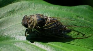 Prepare Your Ears For The Chance Of Extra Cicadas In Georgia This Spring