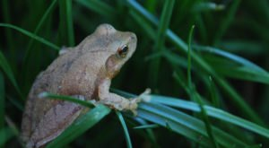 Thousands Of Singing Spring Peepers Are A Welcome Sound Of Normalcy Here In Ohio