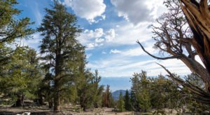 Hike This Ancient Forest Near Southern California That's Home To 4,000-Year-Old Trees