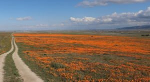 Watch Millions Of Golden Poppies Bloom In Southern California On The Poppy Reserve' s Live Stream In Antelope Valley