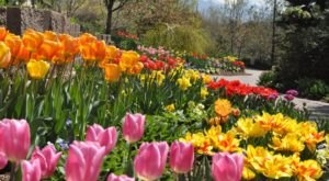 Take A Virtual Tour Through A Sea Of Tulips At Thanksgiving Point In Utah