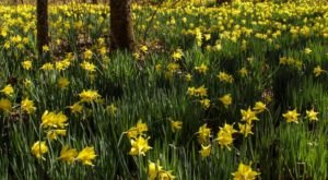 Take A Virtual Tour Through A Sea Of Daffodils In The Bottom Of The Linville Gorge In North Carolina