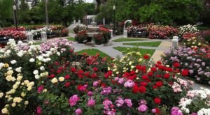 The World Peace Rose Garden In Northern California Features Over 150 Varieties Of Roses