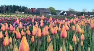 Wicked Tulips Flower Farm In Rhode Island Will Completely Transform When The Flowers Bloom This Spring