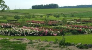 The Dreamy Peony Farm In Minnesota You'll Want To Visit This Spring