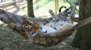 Have A Wild Adventure At The Little-Known Accredited Tiger Sanctuary Located Here In Missouri