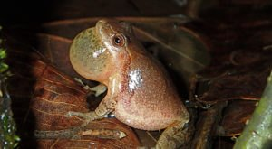 Thousands Of Singing Spring Peepers Are A Welcome Sound Of Normalcy Here In Pennsylvania