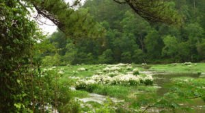 The Alabama Cahaba Lily Festival Will Have Thousands Of Cahaba Lilies In Bloom This Spring
