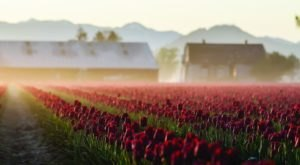 Take A Virtual Tour Through A Sea Of Over 300 Acres Of Tulips In The Skagit Valley In Washington