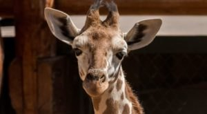 The Cheyenne Mountain Zoo In Colorado Is Offering Free Livestreams Of Giraffes
