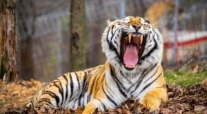 The Turpentine Creek Wildlife Refuge In Arkansas Is Offering Free Livestreams Of Big Cats, Bears, And More