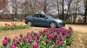 Explore A Drive Through Tulip Trail At Dalton Farms In New Jersey