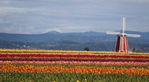 Take A Virtual Tour Through A Sea Of Over 40 Acres Of Tulips At The Wooden Shoe Tulip Farm In Oregon