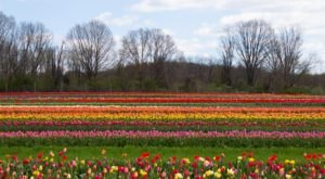 Take A Virtual Tour Through A Sea Of Over 1 Million Tulips At Holland Ridge Farms In New Jersey