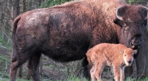 Take An Easy Hike In Kentucky To Admire A Herd Of Baby And Gigantic Bison