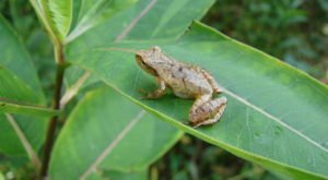 Thousands Of Singing Spring Peepers Are A Welcome Sound Of Normalcy Here In Arkansas