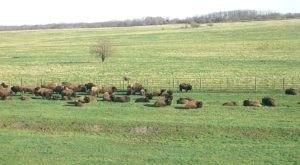 Live Stream Wild Bison Roaming Free At The Midewin National Tallgrass Prairie In Illinois