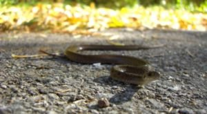 LaRue Road Is Closed For Two Months For The Great Snake Migration In Illinois