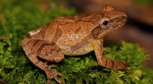 Thousands Of Singing Spring Peepers Are A Welcome Sound Of Normalcy Here In Indiana
