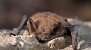 Thousands Of Bats Will Be Active In Alaska Once Again This Spring