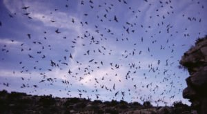 Watch Millions Of Bats Take To The Skies This Summer At The Selman Bat Watch In Oklahoma