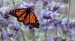 Thousands Of Monarch Butterflies Are Headed Straight For Virginia This Spring