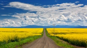 The Bright Yellow Fields Of Blooming Canola Are A Glorious Springtime Sight In Idaho