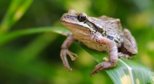Thousands Of Singing Pacific Treefrogs Are A Welcome Sound Of Normalcy Here In Oregon