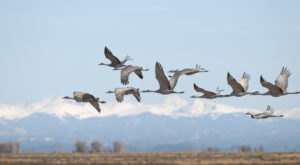 The Sandhill Crane Migration Signals Spring Has Arrived In Interior Alaska