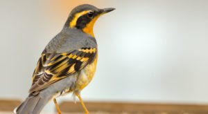 Thousands Of Whistling Varied Thrush Are A Welcome Sound Of Spring Here In Alaska