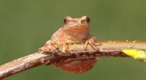 Thousands Of Singing Spring Peepers Are A Welcome Sound Of Normalcy Here In Oklahoma