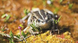 The Wood Frog's Quack Signals The Start Of Spring In Alaska