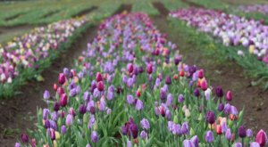 Take A Virtual Tour Through A Sea Of 1.5 Million Tulips And Daffodils At Burnside Farms In Virginia