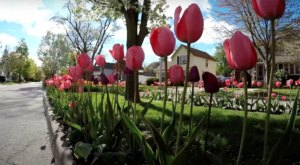 Take A Virtual Tour Through A 6-Mile Stretch Of Tulip Lanes In Holland, Michigan