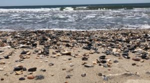 Thousands Of Sea Shells Cover The Outer Banks Beaches With No Tourists Around
