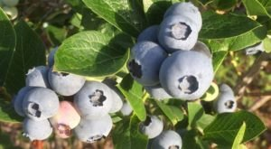 Coin-Sized Blueberries Are Naturally Grown In Kansas At Chautauqua Hills Farm