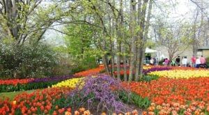 Take A Virtual Tour Through A Sea Of More Than 100,000 Tulips With The Cincinnati Zoo And Botanical Garden